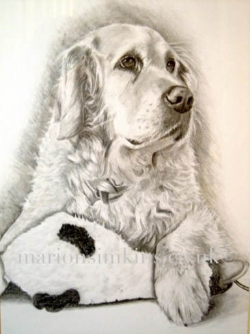 'Millie' the Golden Retriever is a hand drawn pencil portrait. Millie is laying down with her paw draped over one of her favourite soft toys - a toy duck.