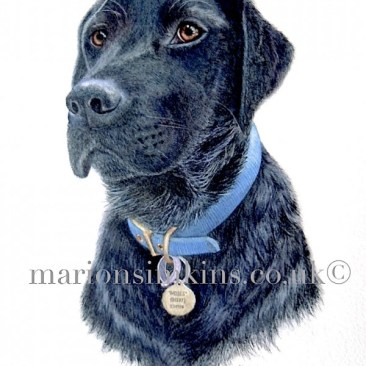 A head and shoulder watercolour pet portrait painting of a Black Labrador called Moses. He is gazing with big brown eyes to the left of the viewer wearing a blue collar and dog tag