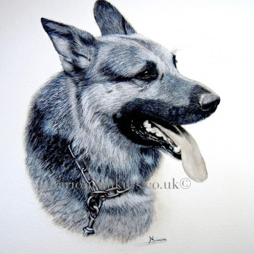 Bespoke commissioned watercolour head & shoulder pet portrait of a working Alsation police dog mouth open paniting with tongue hanging out wearing a chain link choke collar