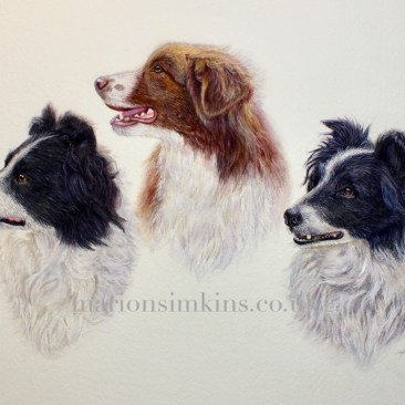 Commissioned watercolour painting of three working Border Collie's - one red in colouring and two black & white with white stripes in the centre of their heads. All three collies are looking attentively to the left of the painting and have tousled white roughs, typical of working dogs.