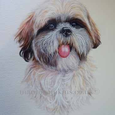 'Cubby' the Shitzu original watercolour portrait of Cubby with his bright pink tongue hanging out with a lovely expression is his shiny reflective eyes