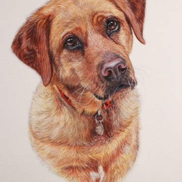 'Archie' the Red fox labrador is a head & shoulder watercolour pet portrait. Archie is looking directly at the viewer with his head tilted to one side wearing a red collar