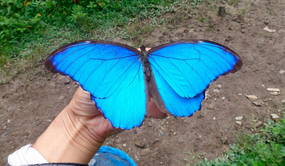 Mariposa Morpho Azul