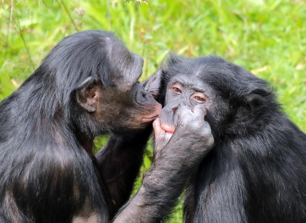 bonobos-vlooien