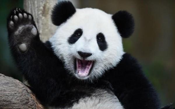 cute-panda