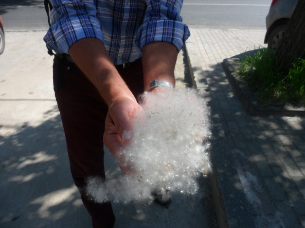 Jim scoops up dandelion fluff from the Yekaterinburg sidewalk