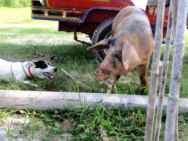 ...but that is nothing compared to the excitement when this pig came by.