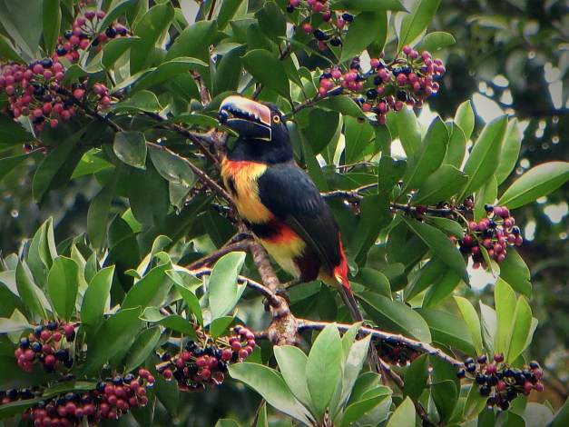 One more shot of the toucan, this one with solid evidence that toucans eat berries
