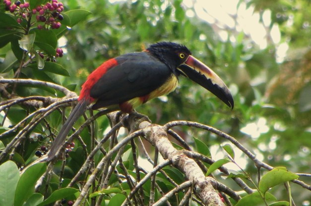 A toucan right outside our cabin