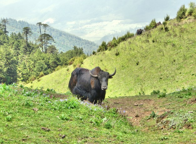 … And when I turned around I saw this yak watching me. Don't believe me?