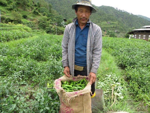 A local farmer we came across on our hike through the rice fields with his bag of peppers. They do a little crop rotation here, so he's growing some of the peppers we love in the local peppers-and-cheese dish.