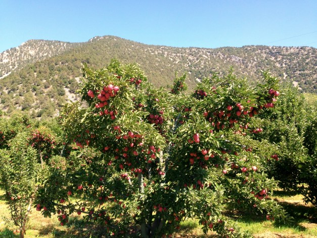 Untold thousands of apple trees along our route out to Kovada National Park, all heavy with apples