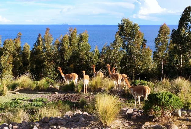 There were small herds of both alpacas and vicuñas on the island. This was my first glimpse of the vicuña, an animal I found sleek, elegant, and gorgeous.
