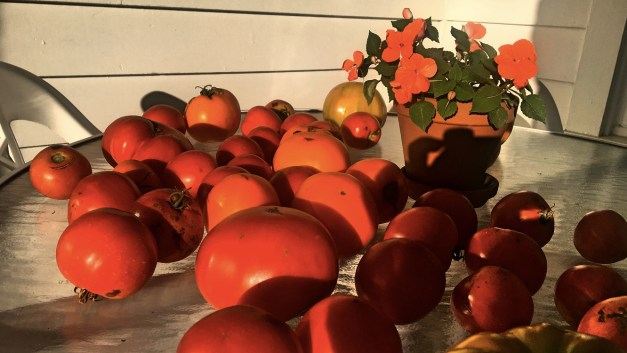 A tiny portion of the tomato harvest at Mark's parents' house