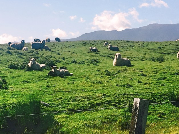 There are a lot of sheep in New Zealand