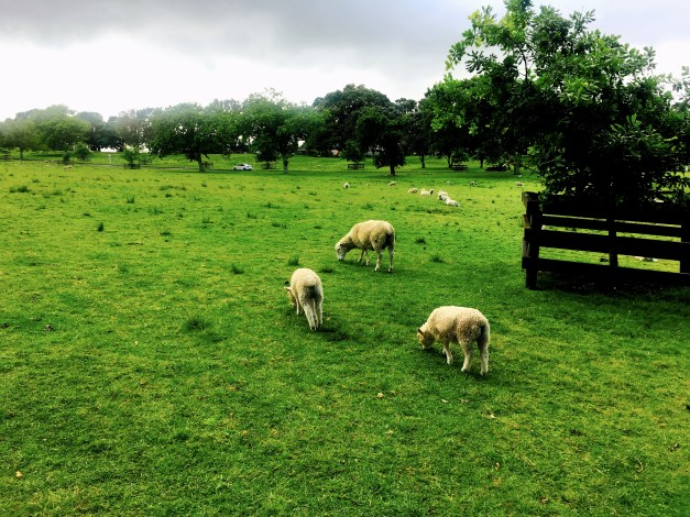 Cornwall Park is a huge green space in Auckland. And just to make sure you feel as though you're really in New Zealand there are sheep grazing all over.