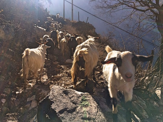 At one point along the trail we had to share it with these goats. And yes, Mark petted that cute one closest to him.