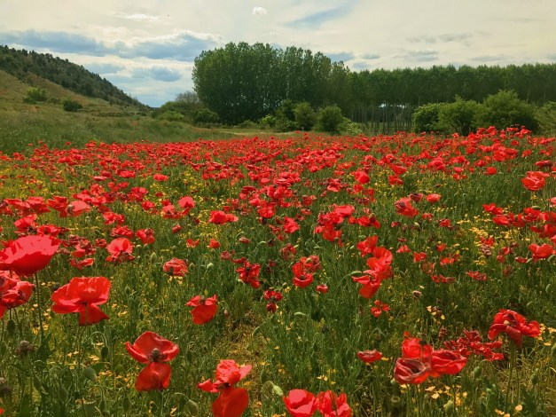 Out for a walk and I come across this poppy field. I was tempted to lie down for a nap, but as I recall from the Wizard of Oz that doesn't always work out so well.