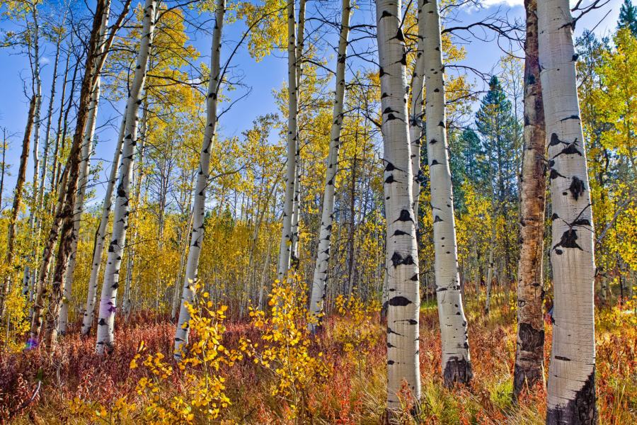 Mark Epstein Photo | Aspens in the Park