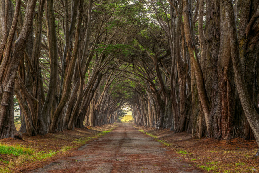 Point Reyes Cypress Trees
