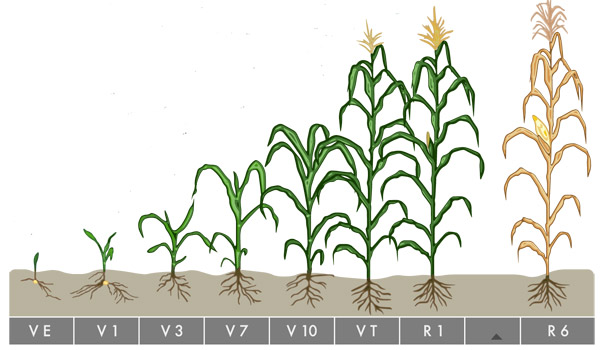 Corn Development Stages Harvest