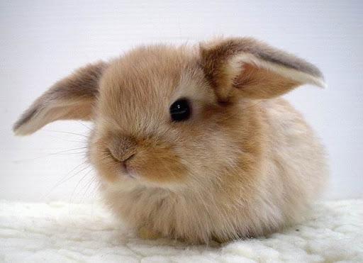 Карликовый вислоухий кролик «Mili lop»