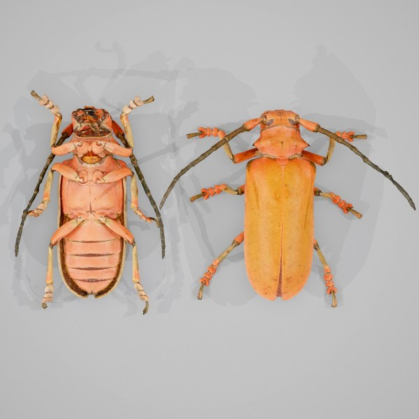 Beetle Longhorn 3D Model Scanned insect