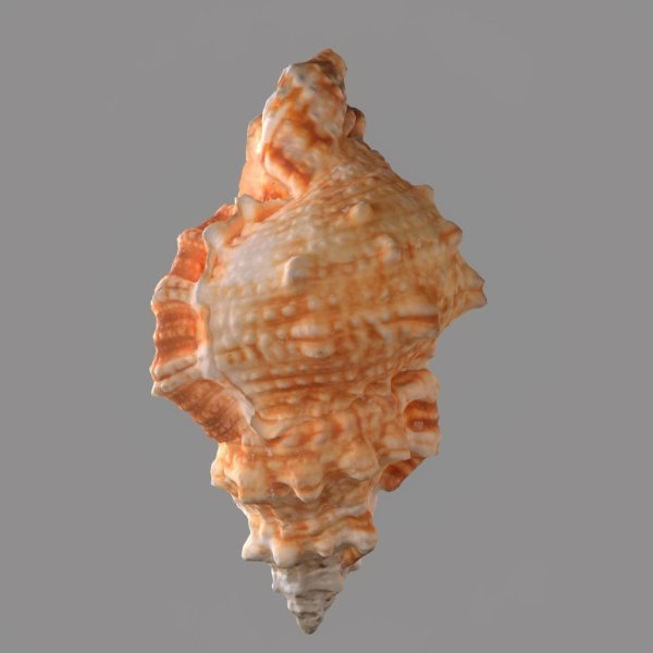 MURICIDAE Sea Shell