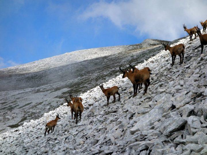 Camosci (chamois) on Monte Amaro