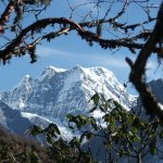 Mera Peak seen between the branches of a rhododendron during the ascent to the Zatr La