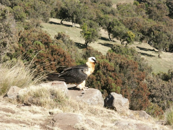 A lammergeier, or bearded vulture