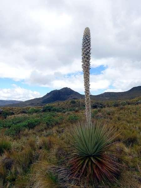 Achupalla, the strange 'standard lamp' plant of the Llanganates Mountains