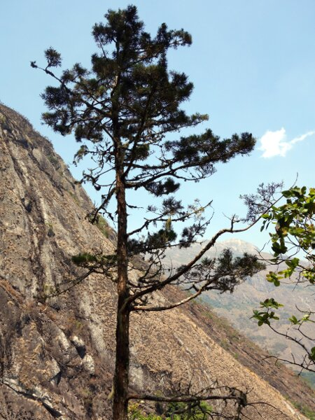 Illegal logging means the endemic Mulanje cedar is on the verge of extinction