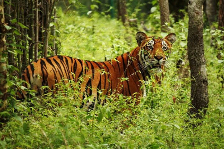 Bengal tiger in Chitwan National Park, Nepal (Photo: AceVisionNepal77 / Wikimedia Commons)