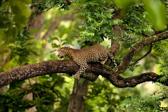Indian Leopard - Suyash Keshari.jpg