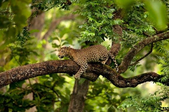 Indian Leopard - Suyash Keshari.jpg