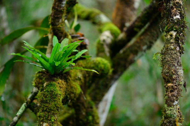 One of my favourite shots from the trip: a bird's nest fern sits on a vine, while Indri call above me.