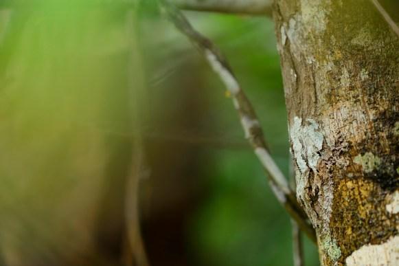 Uroplatus sikorae, as found. Click to enlarge.