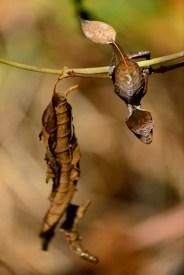 Uroplatus phantasticus