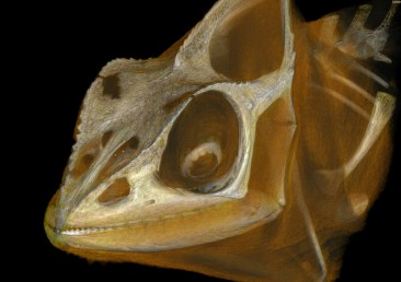 The skull of Furcifer oustaleti with flesh rendered in orange.