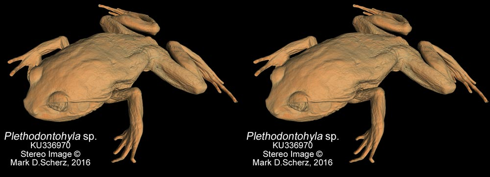 A stereoscopic 3D surface image of a species of Plethodontohyla