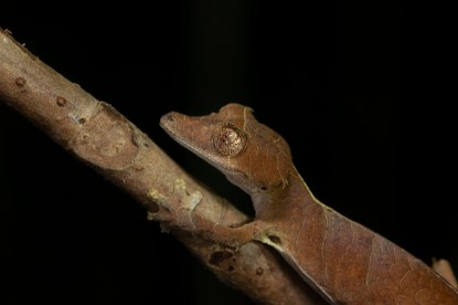 Uroplatus ebenaui in Nosy Be