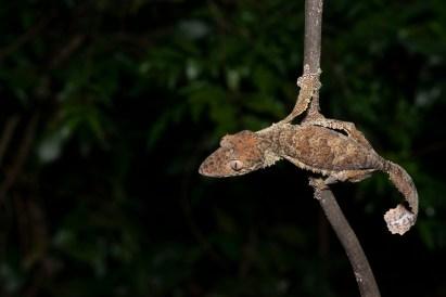 Uroplatus henkeli on a branch