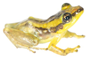 Guibemantis milingilingy, a species from high elevation in Marojejy, northern Madagascar
