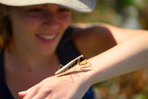 Praying mantis are common-ish but not easy to find.