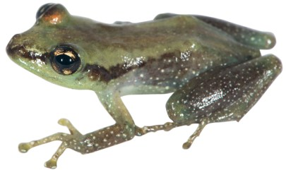 Guibemantis albomaculatus, a new species from Montagne d'Ambre and Manongarivo in northern Madagascar