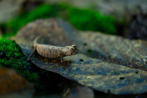 A species of Brookesia