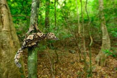Uroplatus giganteus in the dry forest of the western slope of Montagne d'Ambre