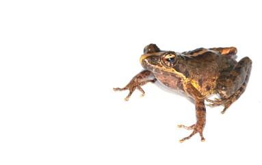 Mantidactylus femoralis
