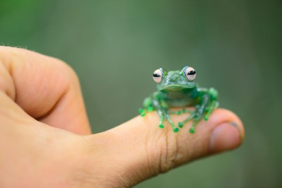Boophis andreonei